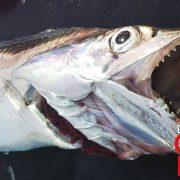 真鯛釣9種28匹の魚とドラゴン100㎝とトラフグ|遊漁船オーシャンズラボ