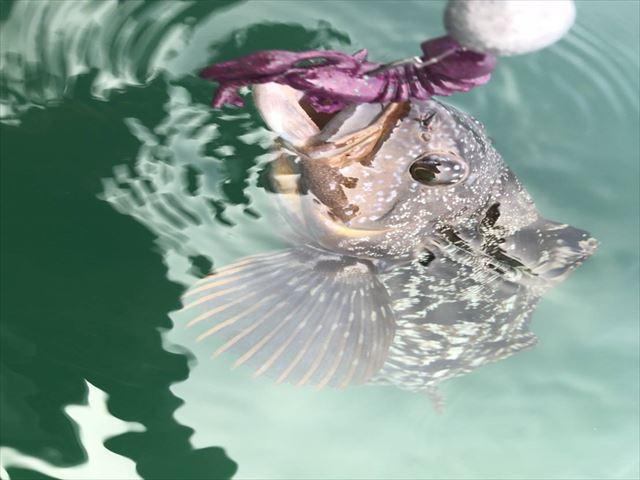 宮城のロックフィッシュアイナメの画像